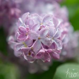 lilac-1